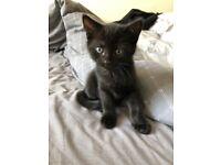 Black Kitten - Boy