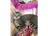 16 week old boy kitten