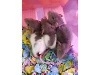 Beautiful baby dumbo rats