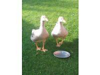 2 pairs of Rare Breed Pilgrim Geese