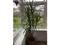 Artificial Yucca plant / tree