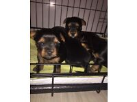 beautiful pups for sale