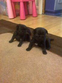 stunning pug pups 1 fawn boy and 1 black girl ready mid march