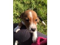 Jack Russell/Collie Cross Puppies for sale