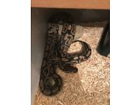 Snakes / pythons for sale