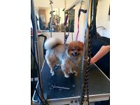2 year old female pomeranian dog for sale