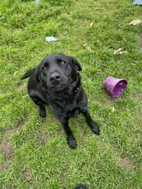 17 month old Labrador