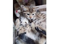 Lovely Natured Bengal and Ragdoll mix kittens