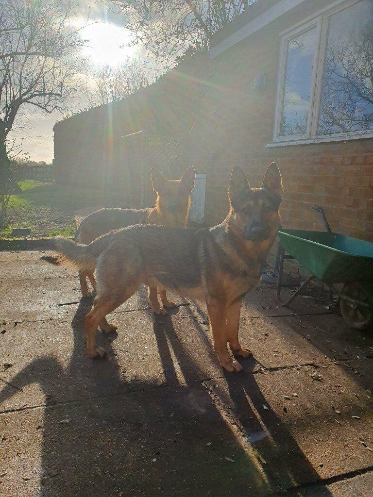 German Shepherd Puppies 850 In Norwich Norfolk Gumtree