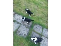Collie puppys