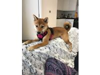 Japanese Shiba Inu 11 months