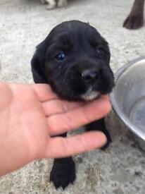 Cocker pups for sale **2 left**