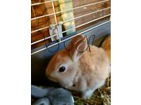 Netherland dwarf baby rabbit 1 fawn doe left for sale ready 15th april