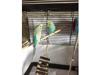 2 lively budgies