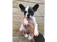 Blue and white pied French bulldog puppy girl, ready to leave