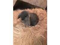 5 Beautiful Pure Bred Mini Lop Bunnies For Sale