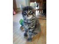 gorgeous homebred kittens in Wroxham
