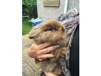 Gorgeous lionhead rabbit