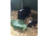 2 Male Guinea Pigs with Cage, Food and Accessories - Full setup