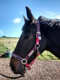 16.2 gelding 9years old, selling with his companion