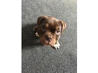 Chocolate bulldog for sale
