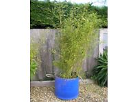 Bamboo plant - large clump of bamboo ready for planting