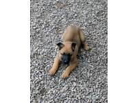 Gsd female puppy - ready now!!