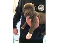 8week old American Bully XL puppies ready in 2weeks