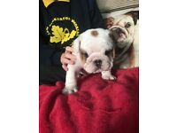 Bulldog Pups KC Reg