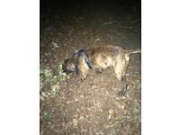 Staffie mastiff cross