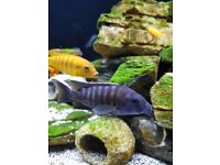 Fish for sale - Malawi cichlids and zebra catfish