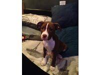 Stacy Cross puppy