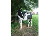 14.3hh welsh x mare for PART loan