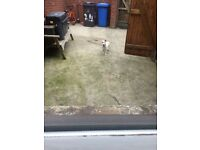 Selling a 7 month male jack Russell