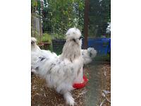 2 male silkie chickens free to good loving home