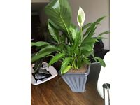1X Large Peace lily - Spathiphyllum Chopin (80cm Approximately) – House plant