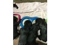 Springador pups