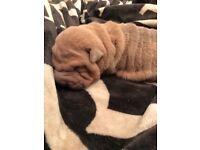 Shar Pei Puppy 8 weeks old