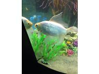 Xl gold fish