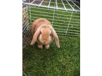 Female Baby Lop for Sale