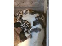 Beautiful Collie Cross Puppies