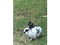 Missing pet Rabbit