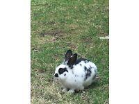 Missing pet Rabbit