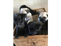 Beautiful pure bred Pug puppies - ready to go to their new homes.