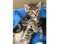 Kitten for sale to loving safe homes