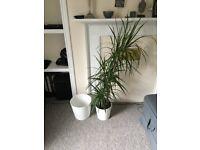 Dragonplant including one extra pot