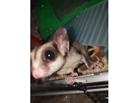 sugar glider pair with kit for sale