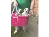 4 jack russell puppies