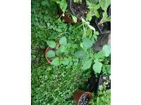 Plants for sale-Lemon balm plants in a 9 cm pot