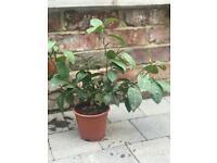 Citrus Tree - Limequat Size: 40 cm (Incl. Pot)